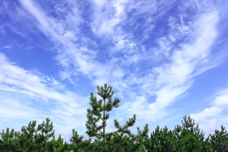 saturated: Beautiful saturated cloudscape under the pine forest