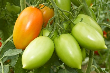 oblong: Bunch with elongated green and red tomatoes growing in the greenhouse Stock Photo