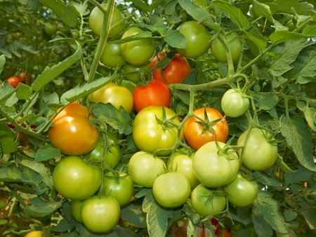 Big bunch with green and red tomatoes growing in the greenhouse photo