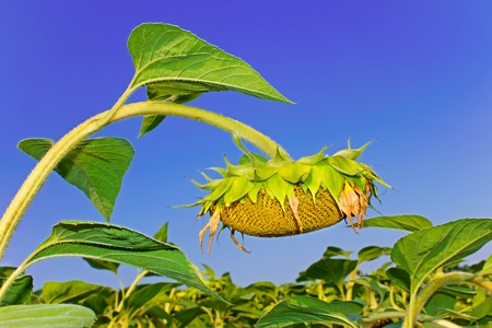 maturation: Sunflower during the ripening over the sunflower field against a blue sky