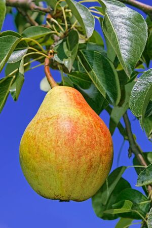 maturing: Ripe pear hanging on a branch among leaves