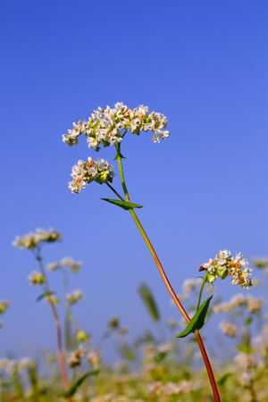 Buckwheat inflorescence on the background of buckwheat fields and blue sky Stock Photo - 10256343