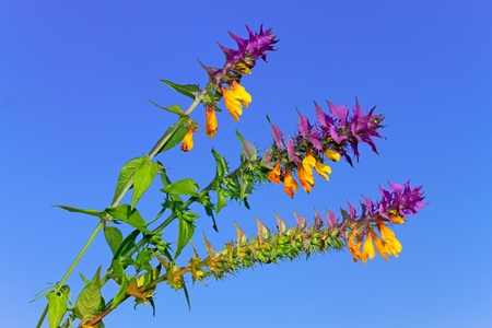florets: Beautiful wild flowers with green and violet leaves and yellow florets against blue sky Stock Photo