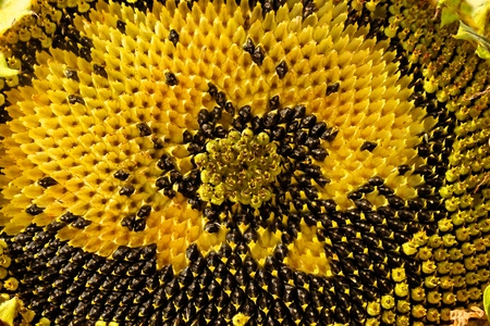 ripening: Sunflower head during the ripening without part of seeds as a texture Stock Photo