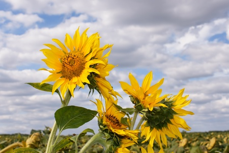 Sunflower heads over the sunflower field against a background cloudy sky photo