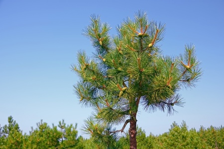 A top of small pine tree with young green cones on the background of blue sky photo