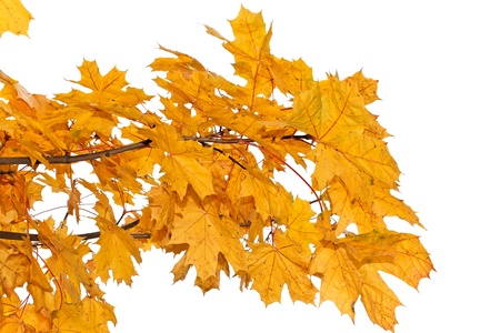 Maple branch with bright yellow leaves in autumn season. Isolated on a white background