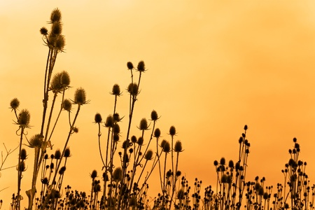 A field of dried teasel flowers against funereal sky. Sepia
