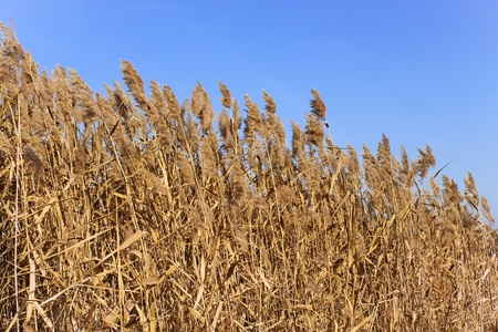 fine cane: Tops of dried plant cane on the background of blue sky in autumn