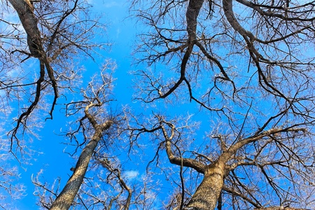 Tops of naked fall trees against the bright blue sky photo