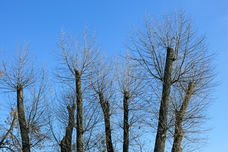 Truncated of treetops against the bright blue sky photo