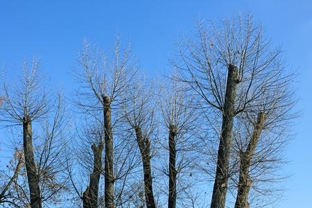 truncated: Truncated of treetops against the bright blue sky