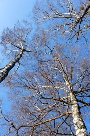 Tops of fall birch trees against the bright blue sky photo