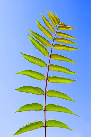 pinnately: Pinnately compound leaves of Staghorn sumac tree on the background of a blue sky. Latin name: Rhus typhina