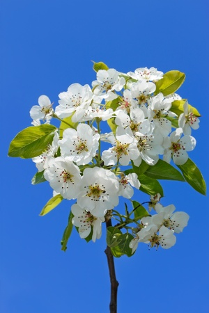 Flowering cherry branch against the background of blue sky Stock Photo