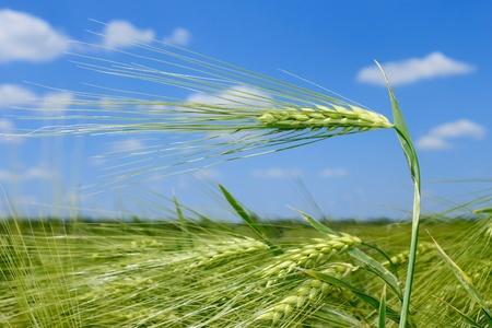 Spikelet of barley on barley field against blue sky photo