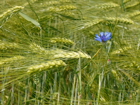 Cornflower flower among green barley ears in the field Stock Photo