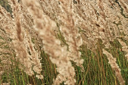 Tops of dry cereal weeds in windy day, fine herbal texture