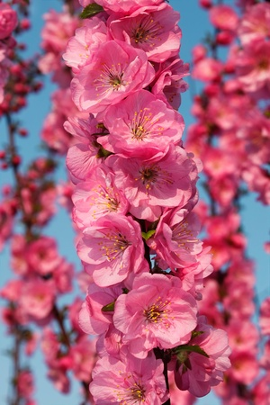 Sakura flowering. Japanese Cherry branch blossoming in spring season Stock Photo - 11912704