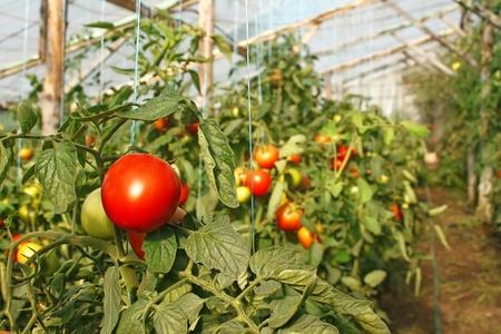 invernadero: Los tomates de maduraci�n que cuelgan en el invernadero de cine de temporada