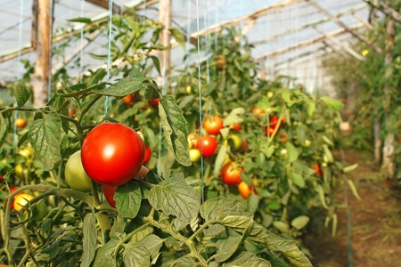 Ripening tomatoes hanging in the seasonal film greenhouse Stock Photo