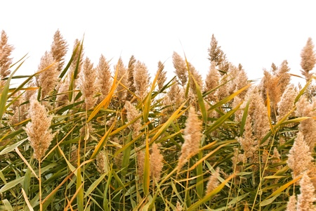 phragmites: Overgrown green reed in windy autumn day isolated on white background Stock Photo