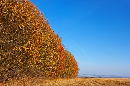 Autumn landscape. Forest edge colored in orange on the verge of the field in cloudless fine day photo