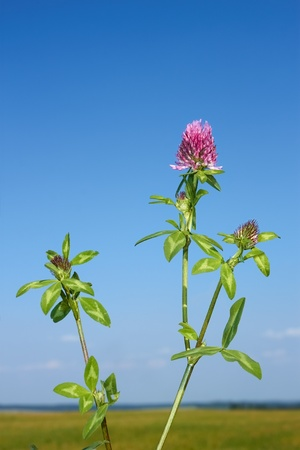 Flowering plant of clover against the background of field and sky in cloudless fine day photo