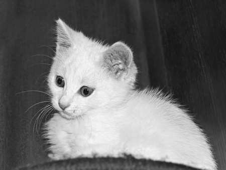 Funny white kitten on a dark background. Black and white photo
