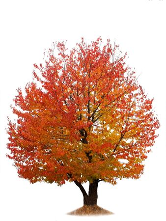 Cherry tree with red and yellow autumn leaves isolated on white background photo