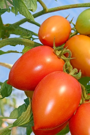 Bunch with elongated ripe red tomatoes that growing in the greenhouse, close-up Stock Photo