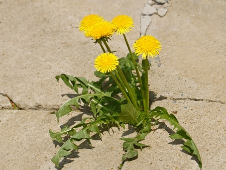 First spring dandelion flowers on a background of gray cracked concrete