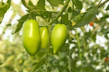 the oblong: Green oblong tomatoes are growing in the greenhouse