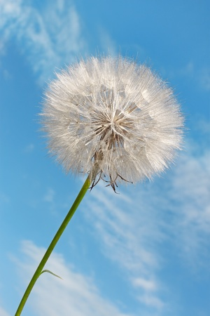 Dandelion against blue sky background with light white clouds photo