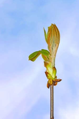 dissolved: Chestnut Bud con foglie giovani che si sono dissolte sullo sfondo del cielo blu