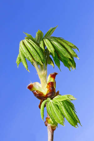 dissolved: Chestnut young leaves which dissolved on the background of blue sky