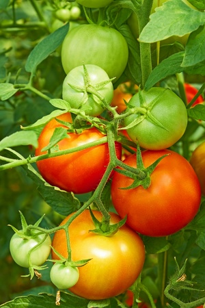 Bunch with ripe red and unripe green tomatoes that growing in the greenhouse, close-up Stock Photo