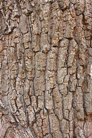bark background: Fragment the cracked bark of the old tree covered with tiny lichen