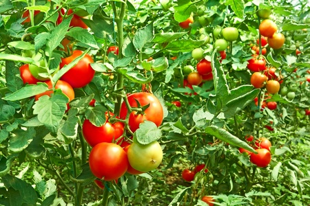 tomates: Many bunches with ripe red and unripe green tomatoes that growing in greenhouse