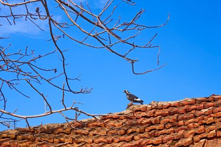 steins: Bird dove standing on an old tiled roof against a blue sky in spring