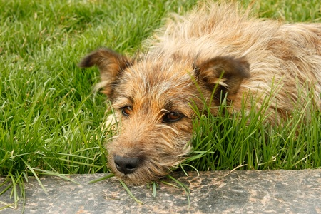 wearied: Strolling dog lying on green grass resting head on a marble slab