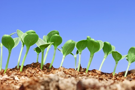 Small watermelon seedling growing in wet wooden sawdust against blue sky Stock Photo - 13571965