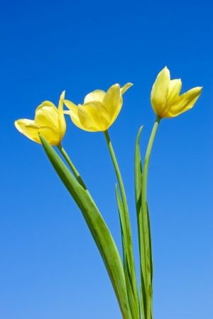 Three yellow tulips against the background a blue cloudless sky photo