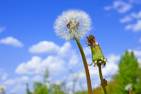 Dandelion plant among meadow against blue sky with clouds. Green true bag sits on a dandelion stalk photo