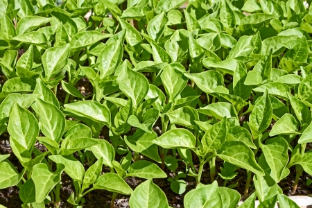 Seedlings of young sweet pepper plants before planting into the soil in springtime Stock Photo