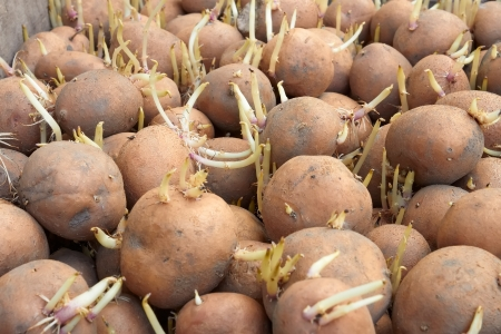 Potatoes tubers with germinated sprouts before planting into the soil in springtime
