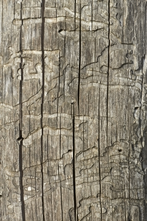 Detail of old wooden logs with bark beetles damaged surface