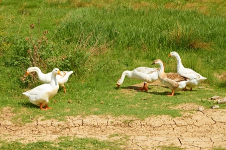 Group of five domestic geese in the pasture among green grass in springtime photo