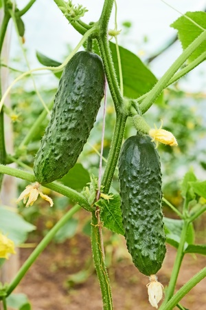 Cucumbers growing in film greenhouses. The rapid growth in summer