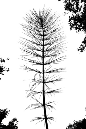 Black and white silhouette of a giant horsetail on a white background